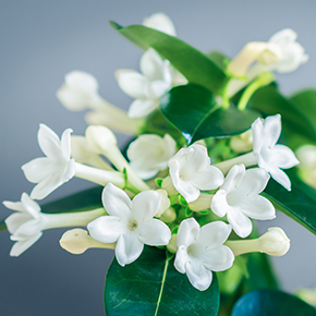 Stephanotis Fragrance Oil